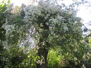 Alter Kirschbaum mit Rampler Rose Kiftsgate