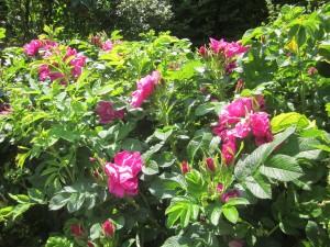 .. nach dem Rückschnitt im Frühjahr überrascht uns die Sylter Rose mit einer Üppigkeit ....